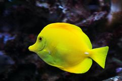 Poissons jaunes de patte dans l'aquarium Photo stock