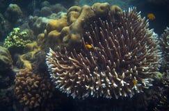 Poissons jaunes en photo sous-marine de bord de la mer tropical Animal de récif coralien Image libre de droits