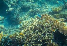 Poissons jaunes et bleus en récif coralien Photo sous-marine d'habitants tropicaux de bord de la mer Photographie stock libre de droits