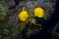 Poissons lumineux parmi le corail Photographie stock