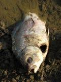 poissons morts Image libre de droits