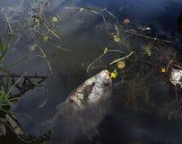 Poissons morts en eau de rivière polluée Image stock