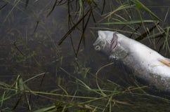 Poissons morts toxiques dans l'eau polluée Images stock