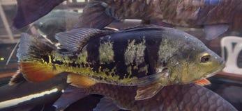 Poissons nageant dans l'aquarium Photographie stock libre de droits