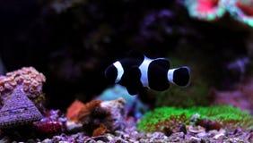 Poissons noirs de clown d'Ocellaris dans l'aquarium Photo stock