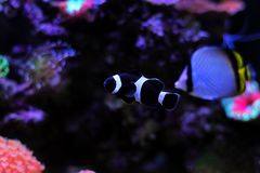 Poissons noirs de clown d'Ocellaris dans l'aquarium Image libre de droits