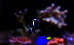 Poissons noirs de clown d'Ocellaris dans l'aquarium Photos libres de droits