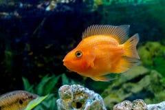 Poissons oranges décoratifs de perroquet de bel aquarium Photo libre de droits