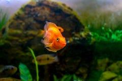 Poissons oranges décoratifs de perroquet de bel aquarium Photographie stock libre de droits
