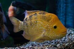 Poissons ornementaux d'aquarium Image stock