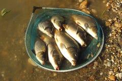 Poissons pêchés Photo libre de droits
