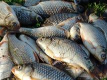 Poissons pêchés se trouvant sur le plan rapproché d'herbe Photo libre de droits