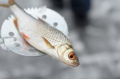 Poissons pêchés se trouvant sur un motoneige pour la pêche d'hiver Images libres de droits