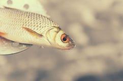 Poissons pêchés se trouvant sur un motoneige pour la pêche d'hiver Image libre de droits