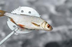 Poissons pêchés se trouvant sur un motoneige pour la pêche d'hiver Photo libre de droits