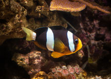 Poissons Poissons de clown dans l'aquarium marin Image libre de droits