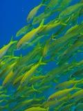 Poissons à queue jaune sur le récif de barrière grand Australie Image stock