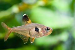 Poissons Rosy Tetra d'aquarium dans le réservoir d'eau douce Copiez l'espace Photos stock