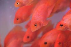 Poissons rouges d'animal familier photographie stock libre de droits