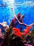 2 poissons rouges d'ik du voile GA nageant dans mon aquarium et x28 ; images libres de droits