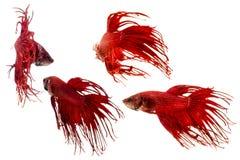 Poissons rouges de betta de queue de couronne Images stock