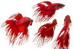 Poissons rouges de betta de queue de couronne Photos stock