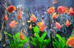Poissons rouges de klaxon de fleur Image libre de droits