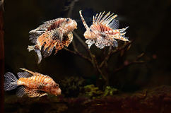 Poissons rouges de lion (milles de Pterois) Photo stock