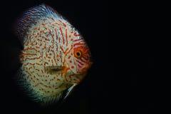 Poissons rouges et blancs de disque sur l'aquarium foncé Photo libre de droits