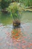 Poissons rouges mangeant dans un lac artificiel Photographie stock