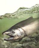 Poissons saumonés argentés de coho Pacifique fonctionnant en bas du courant images libres de droits