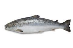 Poissons saumonés frais Photo stock