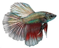 Poissons siamois de combat. Betta Splendens images libres de droits