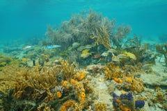 Poissons sous-marins de corail de mer des Caraïbes d'espèce marine Images stock