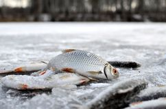 Poissons sur la glace Photo stock