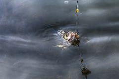 poissons sur le crochet Photo stock