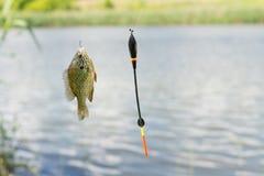 Poissons sur le crochet balançant de la ligne de pêche Photo stock