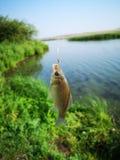 poissons sur le crochet poissons, pêchant photos libres de droits