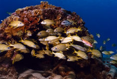 Poissons sur le récif Images libres de droits