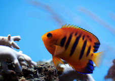 Poissons tropicaux Photo stock