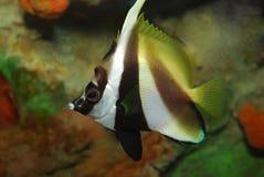 poissons tropicaux Photo stock