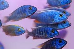 Poissons tropicaux bleus Images libres de droits