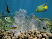 Poissons tropicaux colorés et un ventilateur de mer Photographie stock libre de droits
