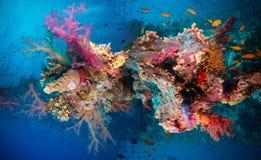 Poissons tropicaux d'Anthias avec les coraux nets du feu Image libre de droits