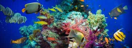 Poissons tropicaux d'Anthias avec les coraux nets du feu Photo libre de droits