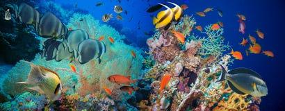 Poissons tropicaux d'Anthias avec les coraux nets du feu Photographie stock libre de droits