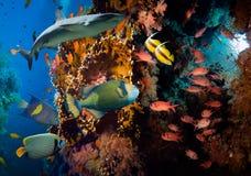 Poissons tropicaux d'Anthias avec les coraux nets du feu et requin Images libres de droits