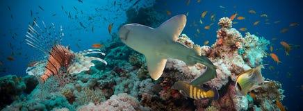 Poissons tropicaux d'Anthias avec les coraux nets du feu et requin Photographie stock libre de droits