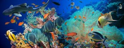 Poissons tropicaux d'Anthias avec les coraux nets du feu et requin Image stock