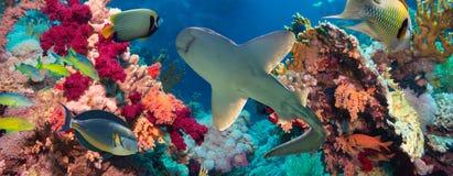 Poissons tropicaux d'Anthias avec les coraux nets du feu et requin Photo libre de droits